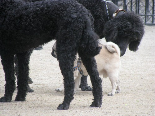 Here I am hanging with some big guys...standard poodles. You wouldn't call those sissy dogs, now would you?