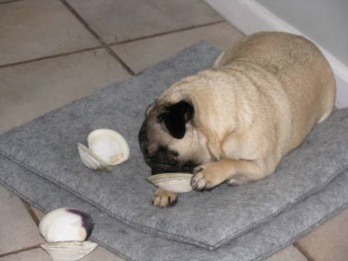 That little pug really knows how to go for the gold!